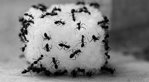 8 Petua Halau Semut Yang Berumah Dalam Bekas Gula Anda.