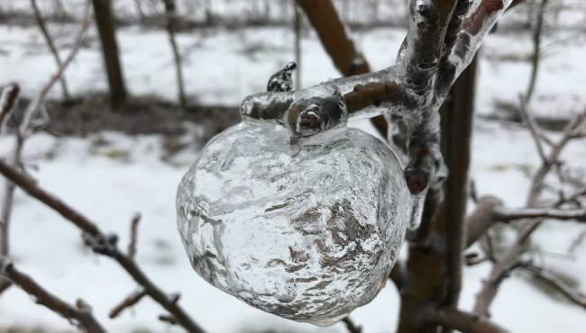 Kejadian Beku Melampau Di Amerika Punca Pokok Epal Hasilkan Epal Hantu. Subhanallah.