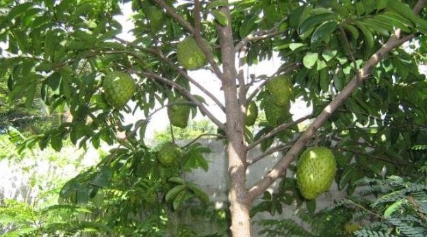 Inilah Khasiat Daun Durian Belanda.