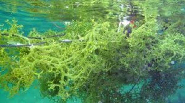 10 Khasiat Rumpai Laut Ramai Orang Tak Tahu.