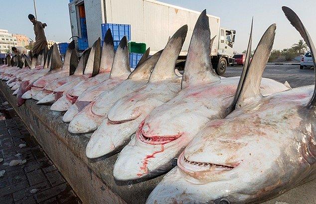 Jerung Semakin Banyak Di Pantai. Hasil Nelayan Israel Jatuh Merundum 30%.
