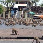 (Video) Covid-19. Ratusan Monyet Mengamuk Di Thailand