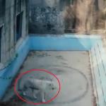 (Video) Harimau Ini Tertekan Dikurung, Ramai Pelik Lihat Apa Yang Dilakukannya Tanpa Henti