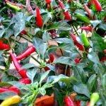 TIPS: Petua Pokok Cili Berbuah Lebat