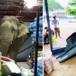 'Gajah Lapar Durian'. Rempuh Masuk Kedai Menjual Durian. Ada Video.