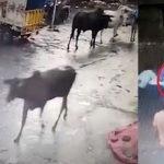 Lembu Tiba-Tiba Mengamuk Dan Memijak Seorang Kanak-Kanak. Ada Video.