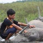 Diserang Hawar Berdarah, 5 Lagi Kerbau 'Mowgli Malaysia' Mati