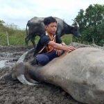 'Mowgli Malaysia' Terkejut 30 Kerbau Mati Mengejut