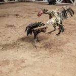 Pegawai Polis Maut Ditaji Ayam Laga
