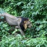 Remaja Perempuan Dimakan Singa Ketika Ke Tandas