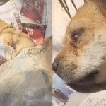Video Anjing Setia Menanti Tuannya Yg Telah Meninggal Dunia.