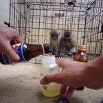 YouTuber Seksa Haiwan Beri Monyet Minuman Tenaga Dan Sos Cili