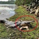 Sangka Buaya.. Lelaki Temui Bangkai Ikan Prasejarah Tepi Kolam
