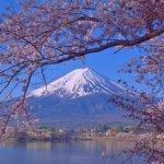 Bunga Sakura 'Mekar' Sebelum Masanya Di Jepun, Krisis Iklim Menjadi Penyebab