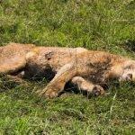 Kejam! 6 Singa Mati Diracun Dan Dikerat di Afrika