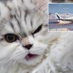 Pesawat Mendarat Cemas Gara-Gara Kucing 'Serang' Juruterbang