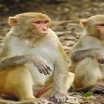 Dua Lelaki Ditahan Guna Monyet Untuk Merompak