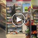 (Video) Besar Macam Godzilla, Biawak Gergasi Buat Hal Panjat Rak Kedai 7Eleven