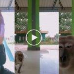 (Video) Lucu, Monyet 'Take Over' Video TikTok Gadis, Dapat 20 Juta Tontonan