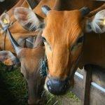 Cubaan Bawa 13 Lembu Rentas Negara Ditahan Polis
