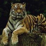 Akibat Membunuh Penjaga Zoo, Dua Harimau Mati Ditembak