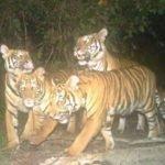 Harimau Mengganas Di Felda Kerteh