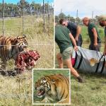 NGERI. Penjaga Zoo Maut Dibaham Harimau.