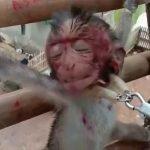 KEJAM! Anak Monyet Diseksa Serta Dibakar Untuk Hiburan